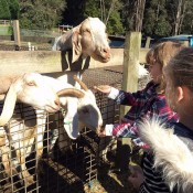 goatfeeding